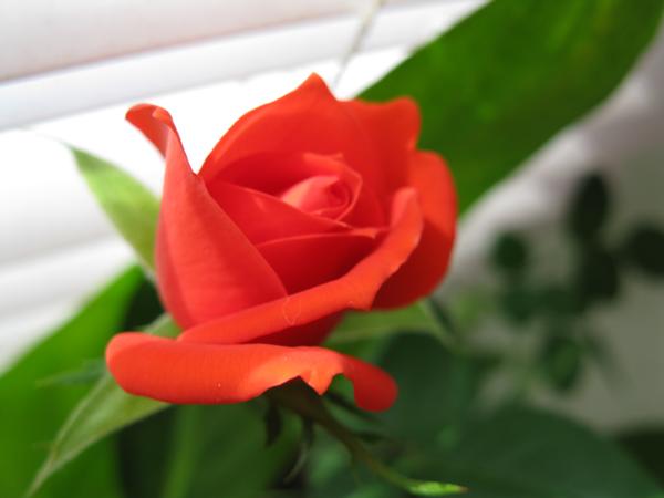 Sri Lankan Flower